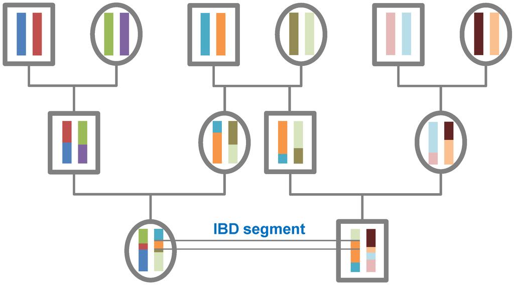 Pedigree,_recombination_and_resulting_IBD_segments,_schematic_representation